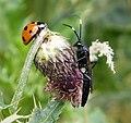 Seven spot Ladybird (Coccinella septempunctata) with Ichneumon Wasp (32724563548).jpg