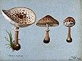 Shaggy parasol mushrooms (Lepiota rhacodes); three fruiting Wellcome V0043356.jpg