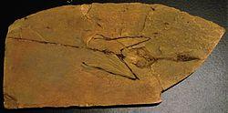 250px-Sharovipteryx_mirabilis_fossil.JPG