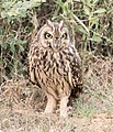 Short-eared Owl (38049960482).jpg