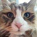 Siberian Cat Close.jpg
