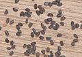 Sisymbrium officinale seeds, gewone raket hauwen zaden.jpg