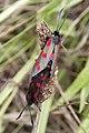 Six-Spot Burnet Moths (3746142997).jpg