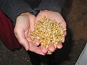 Germinating barley used for malt.