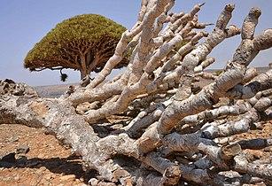 Skeletal, Dragon's Blood Tree (13510165865).jpg