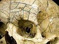 Skeleton with phrenological skull, Europe Wellcome L0057109.jpg