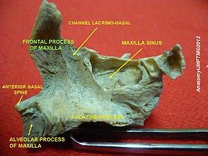 Frontal process of maxilla - Image: Slide 11hhhh