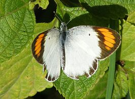 Colotis etrida
