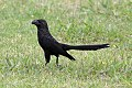 Smooth-billed Ani (Crotophaga ani) (8077638714).jpg
