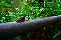 Snail walking on an iron bar, Abbey falls, Coorg, Karnataka.JPG