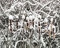 Snow covered cattails.jpg