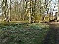 Snowdrops in Mackershaw Plantation - geograph.org.uk - 732943.jpg