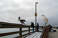Snowy Egret and Pelican on Balboa Pier.jpg