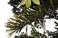 Socratea exorrhiza 4zz.jpg