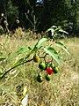 Solanum dulcamara sl3.jpg