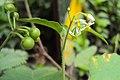 Solanum nigrum 23.JPG