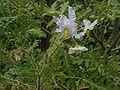 Solanum sisymbriifolium2.jpg