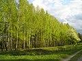 Some birches - panoramio.jpg