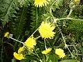 Sonchus hierrensis var. benehoavensis flowers.jpg