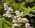 Sorbaria kirilovii - fleurs.jpg