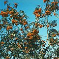 Sorbus aucuparia (1980). (36272654232).jpg