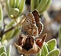 Southern Brown Argus. Aricia cramera, male (26185130628).jpg