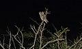 Southern White-faced Scops-Owl (Ptilopsis granti) (6001795035).jpg