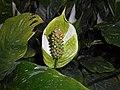 Spathiphyllum 2015-07-28 5298.jpg