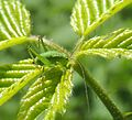 Speckled bush-cricket nymph (Leptophyes punctatissima), Sandy, Bedfordshire (14412479443).jpg