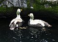 Spectacled Eider in Living Coasts.jpg