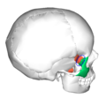 Sphenoid bone and zygomatic bone - lateral view3.png