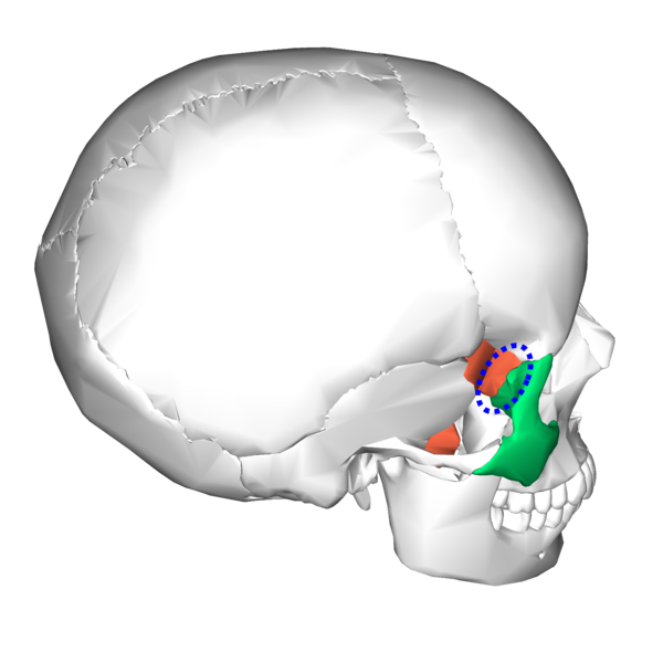 file:sphenoid bone and zygomatic bone - lateral view3, Sphenoid