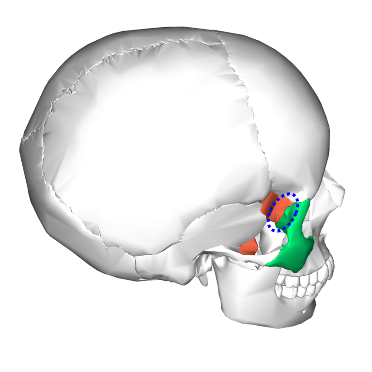 file:sphenoid bone and zygomatic bone - lateral view3, Human Body
