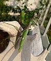 Sphodromantis viridis (32748101785).jpg