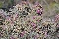 Spiny Ruschia (Ruschia spinosa) (32740833386).jpg