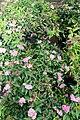 Spiraea japonica Neon Flash 3zz.jpg