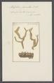 Spongia verrucosa - - Print - Iconographia Zoologica - Special Collections University of Amsterdam - UBAINV0274 112 05 0023.tif