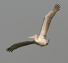 Spot-billed Pelican (Pelecanus philippensis) in flight in AP W IMG 3436.jpg