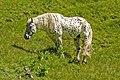 Spotted Horse, Tannheim Mountains, Austria.jpg