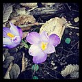 Spring Flowers (30716521).jpeg