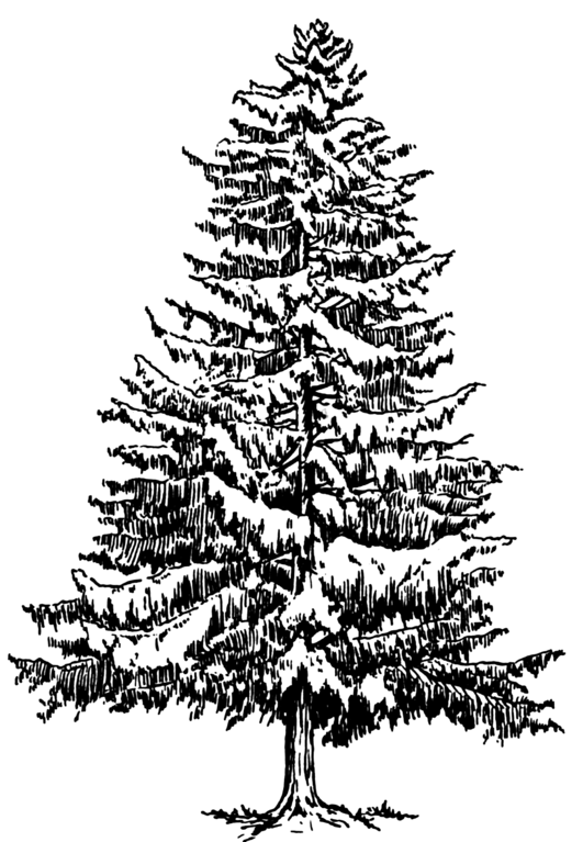 blue spruce coloring pages - photo#21