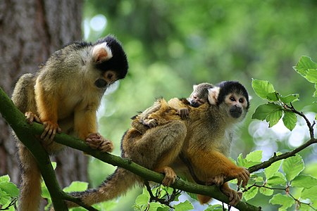 A family of Bolivian Squirrel Monkeys (Saimiri boliviensis)