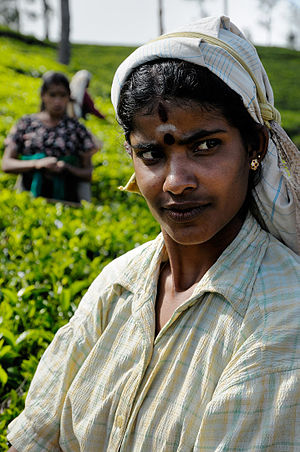 Indian Tamils of Sri Lanka - Hill Country Tamil woman working in a tea plantation in central Sri Lanka.