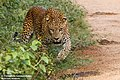 Sri Lankan Leopard - Yala National Park.jpg
