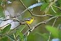 St. Lucia Warbler nEO.jpg