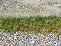 St Margaret's at Cliffe Foreshore vegetation0389.JPG