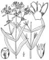 Stachys hyssopifolia BB-1913.png