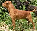 "Staffordshire Bull Terrier ""Chaman"".jpg"