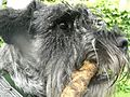 Standard Schnauzer with a stick in its mouth - 20090309.jpg