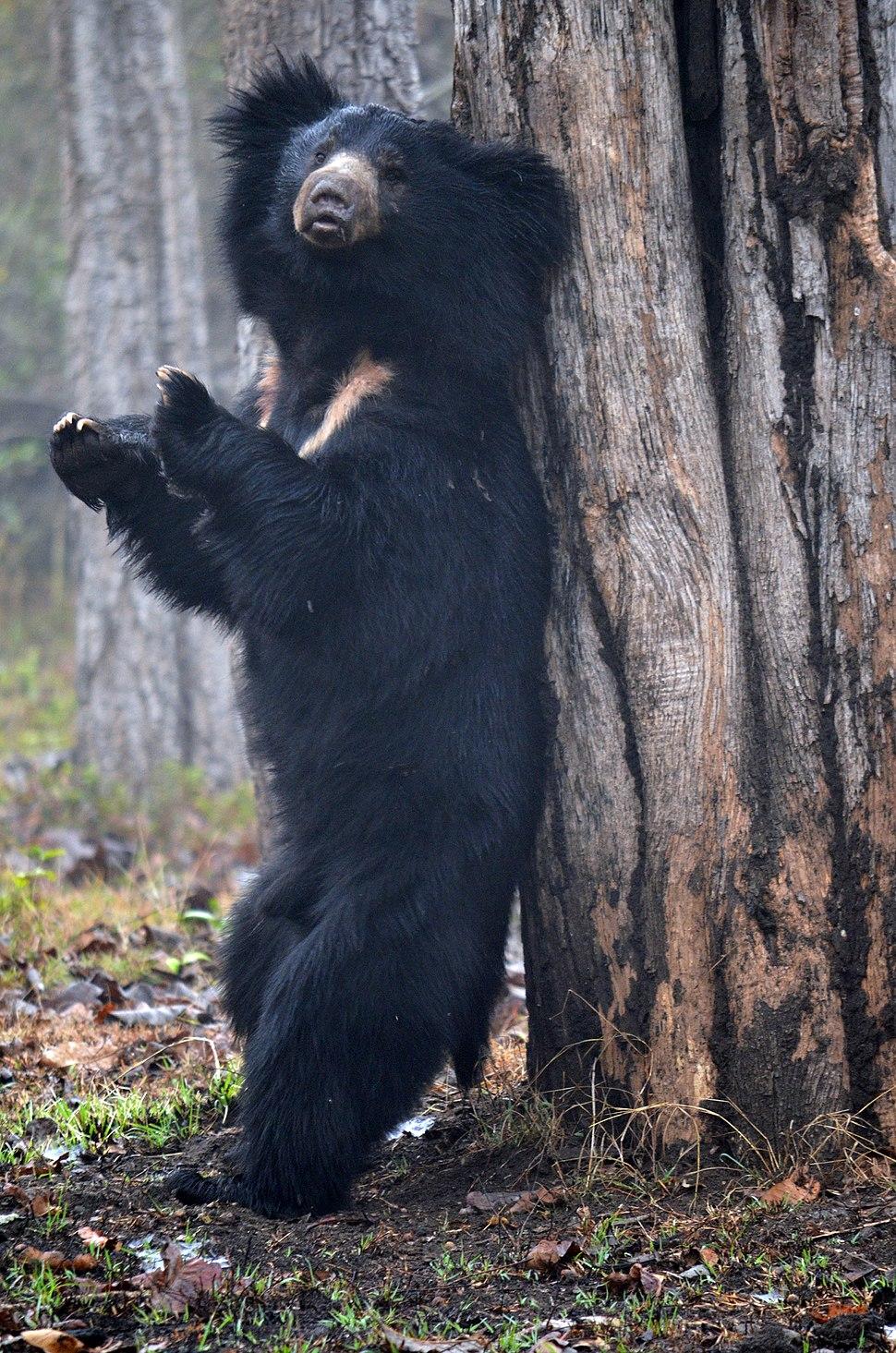 Standing Sloth Bear